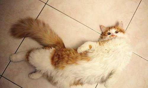 公猫发情什么特征图片