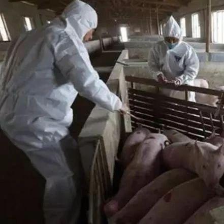 江西发生第二例非洲猪瘟疫情 省政府紧急部署防控