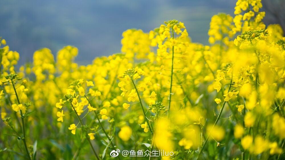 婺源的油菜花,又到了盛放的时节 春风再美