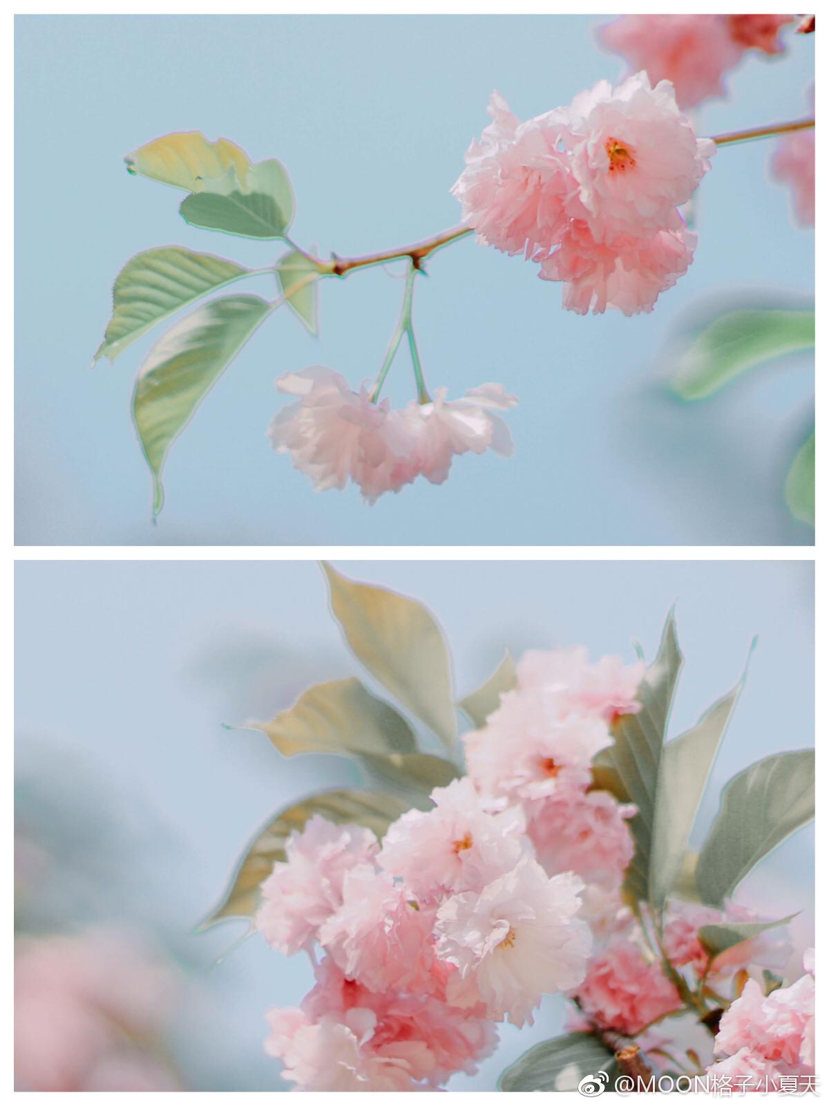 🌸樱花🌸|花开莫辜负 photo by