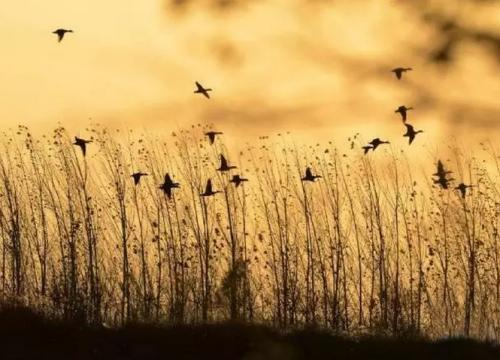 散文:候鸟是永远的春天使者与画匠
