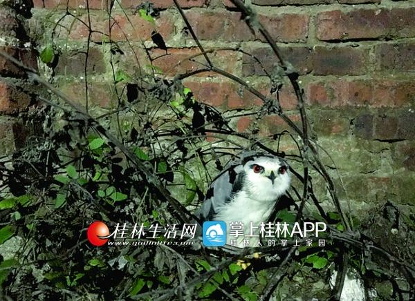 桂林市民路边捡到一只鸟 红眼睛大翅膀长相奇特