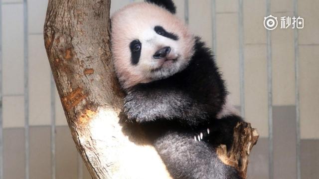 1月13日,在法国圣艾尼昂市博瓦勒野生动物园,首只在法国出生的大熊猫宝宝圆梦正式与公众见面。圆梦于2017年8月4日生于博瓦勒野生动物园,爸爸妈妈是旅法大熊猫圆仔和欢欢。 新华社发   (特别声明:以上文章内容仅代表作者本人观点,不代表新浪看点观点或立场。如有关于作品内容、版权或其它问题请于作品发布后的30日内与新浪看点联系。)