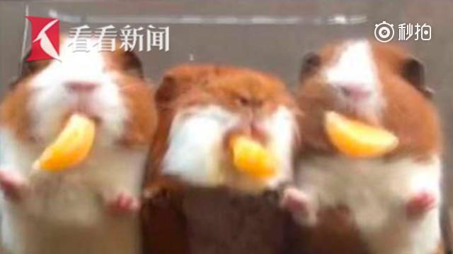 呆萌天竺鼠吃橘子 大门牙太魔性!