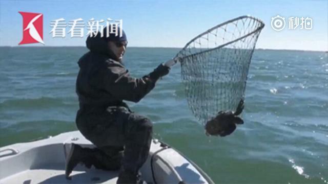 寒潮威力太猛 数百只海龟冻成