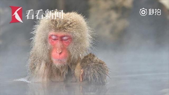 日本长野的猴子又双叒叕泡温泉了!
