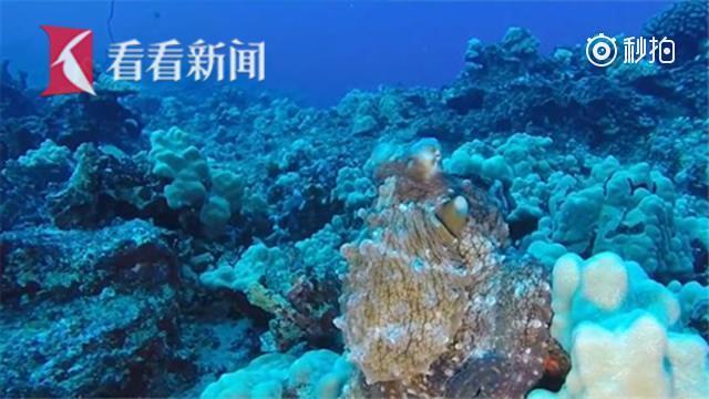 神奇章鱼会变色!章鱼:我是一丛珊瑚