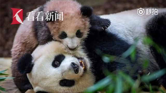萌翻啦!法国网红熊猫宝宝