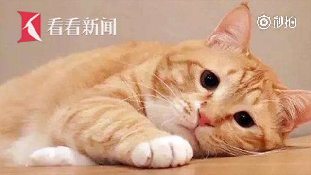大橘猫又肥又丧 网友:周一上班的我!