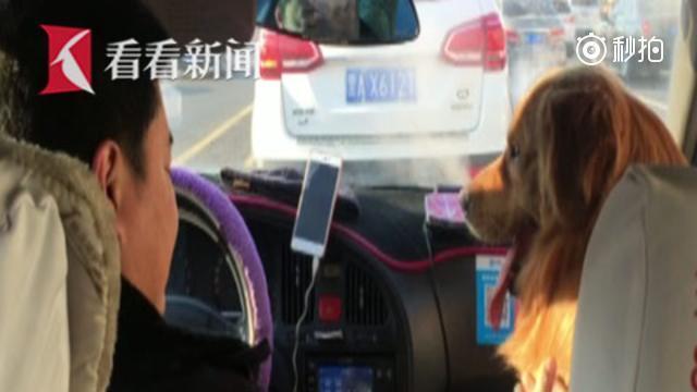 """金毛走失幸得出租车司机""""搭救"""""""