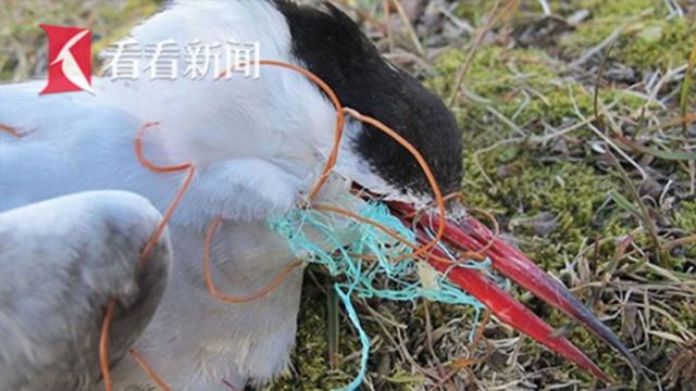 海鸥被塑料缠住饿死 英国女王禁塑料