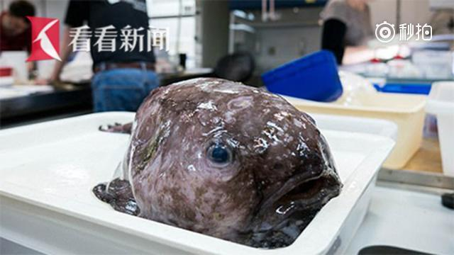 """澳科学家深海发现世界最丑鱼""""亲戚"""""""