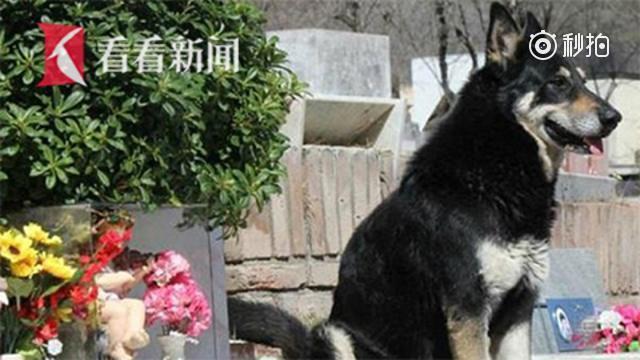 阿根廷忠犬在主人墓前守护11年去世