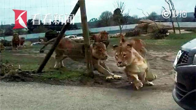 夫妻带娃逛野生动物园 遭群狮攻击