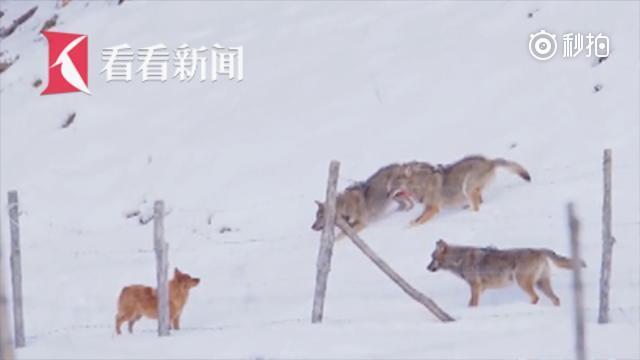 小狗遭饿狼围猎 一扭身离奇逃生