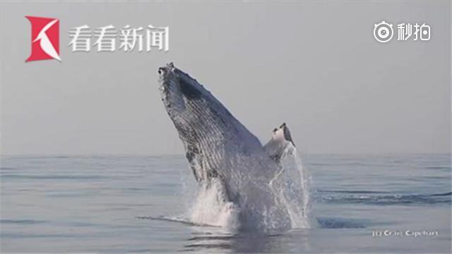座头鲸在海面跳跃 以为自己是海豚