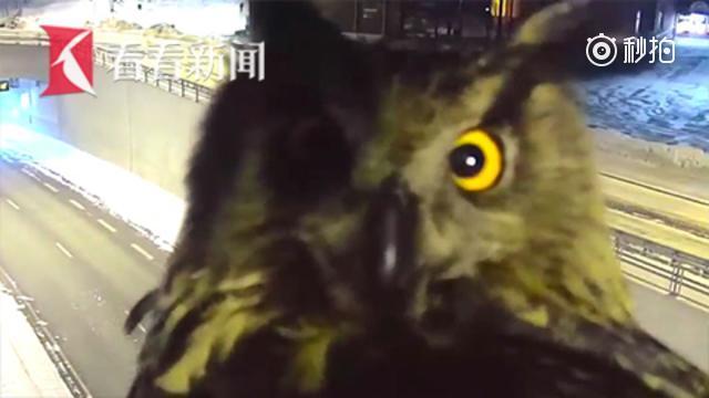 """芬兰猫头鹰和摄像头""""大眼瞪小眼"""""""