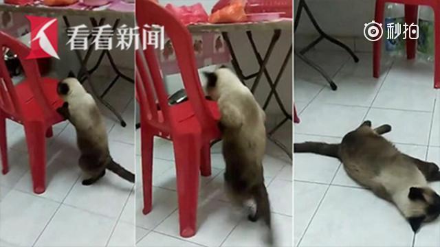 国外肥猫跳不上椅子竟倒地装