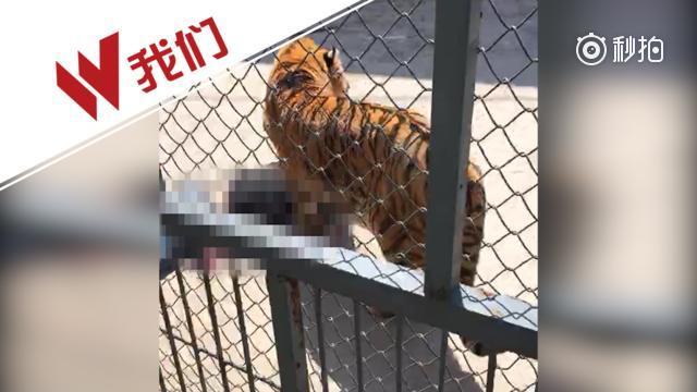 动物园一老虎训练时兽性突发 咬死把它养大的驯兽师