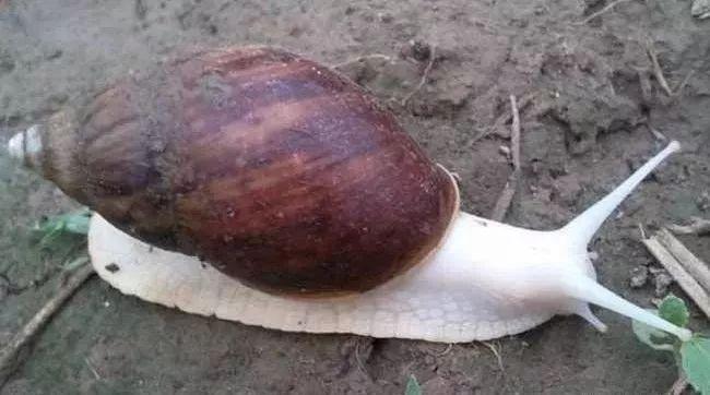 杭州1家人一年养两三吨蜗牛 称全是用来吃的(组图)
