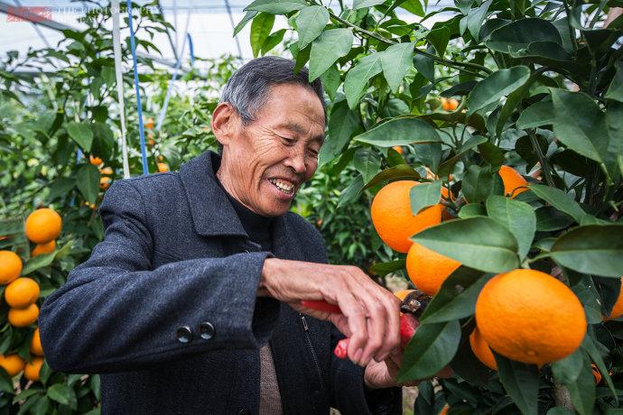 大爷花3年培育的极品柑橘
