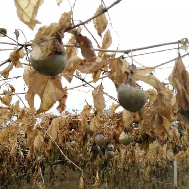 心痛!霜冻致桂林百香果连片枯萎 数万果实烂在田间