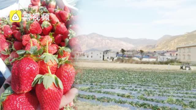 草莓滞销!食品科学学院准研究生因疫情留村,帮村民网售草莓