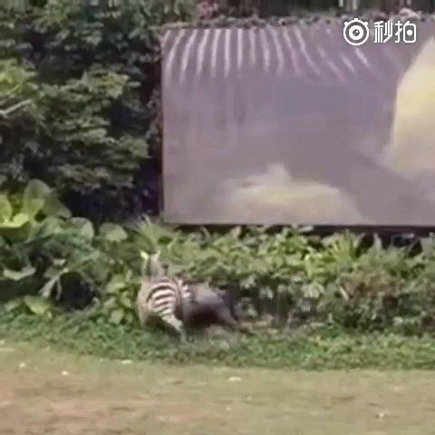 某动物园里用来表演的斑马攻击工作人员!这视频也是醉了!所以说