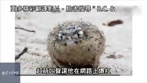 凶残沙漠雨蛙叫声太萌,震慑效果差评!