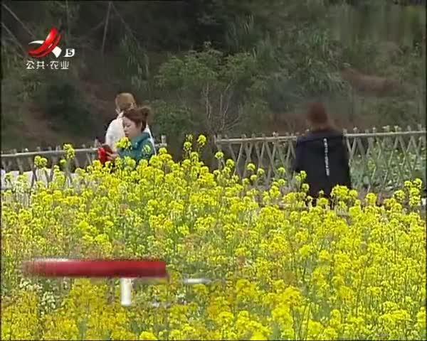 南昌湾里区:多彩油菜花竞相闹春