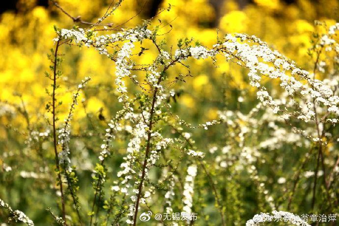 近二三年鼋头渚移植于樱花谷的一些喷雪花长势喜人