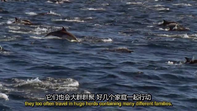 自己捕食却被抢!海豚长途追踪大群猎物,却引来大量其他掠食者