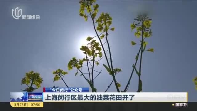 上海闵行区最大的油菜花田开了,在阳光下分外亮眼,还可云赏花!