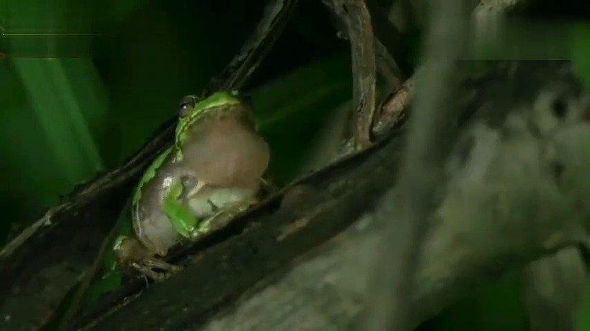 能吃掉一只青蛙的甲虫,食物链很奇妙。
