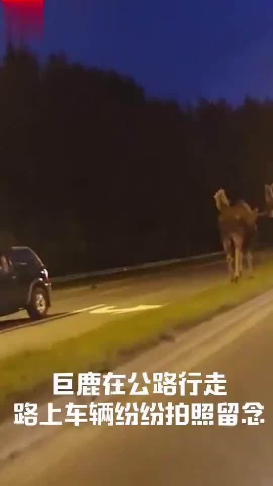 """传说中的""""高速公鹿""""?"""