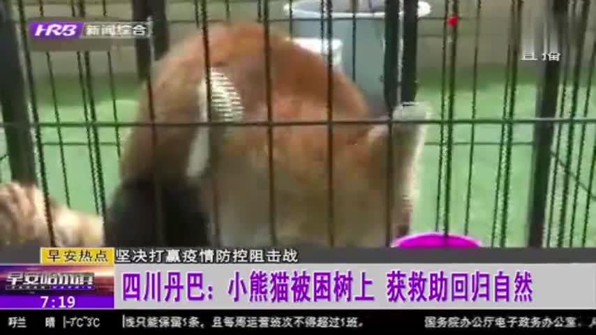 四川丹巴:小熊猫被困树上,村民报警求助,经民警救治后回归山林