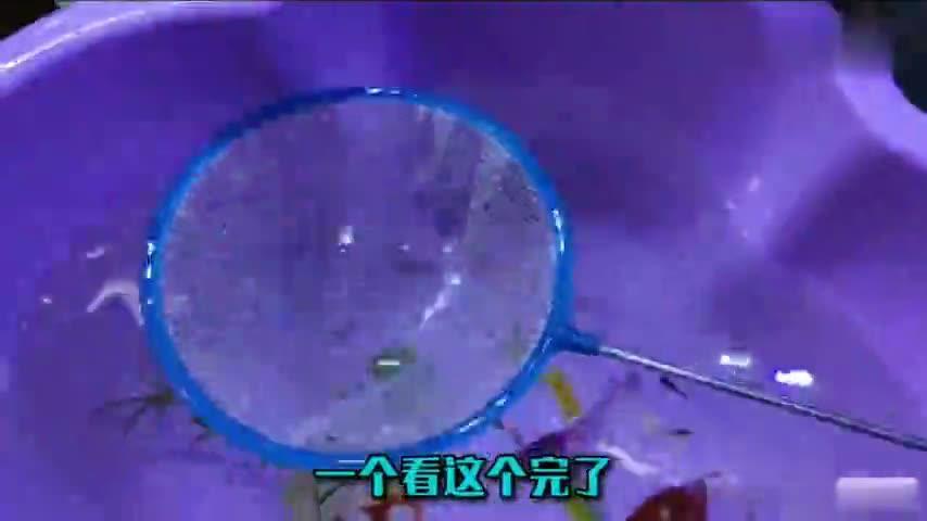 十分钟收获了五六十条蓝色妖姬孔雀鱼苗,全面开启爆缸模式了