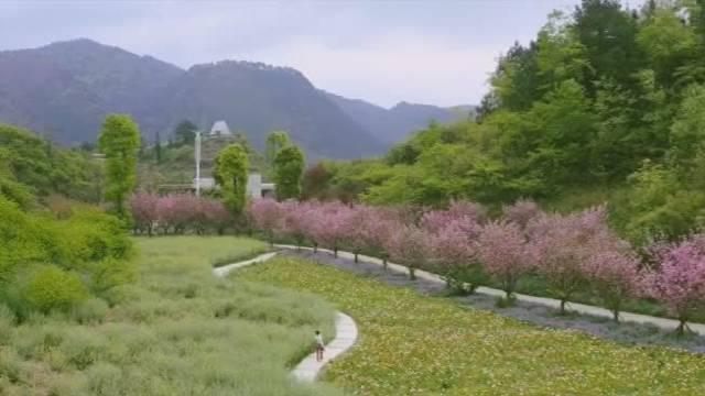 音寨家家户户都在自己的房前屋后山坡上种植李树