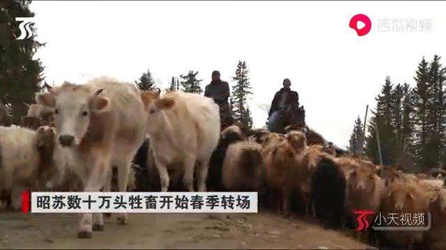 昭苏数十万头牲畜开始春季转场