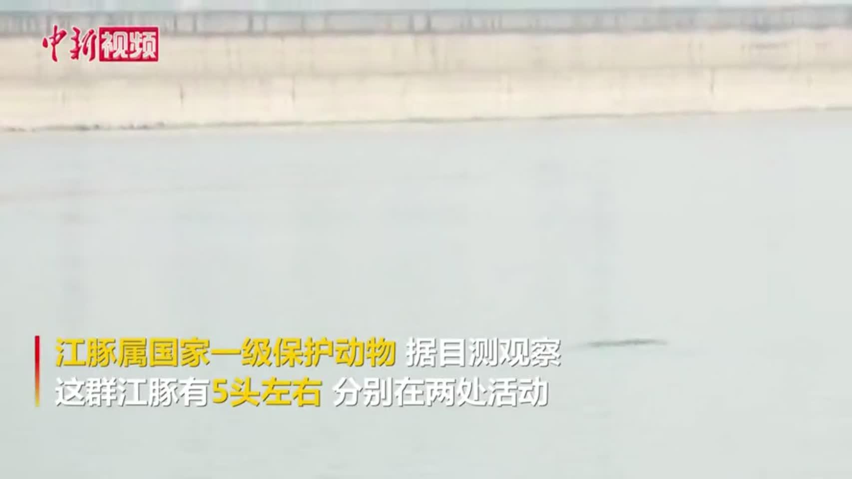 野生江豚畅游长江 曾经罕见现在寻常