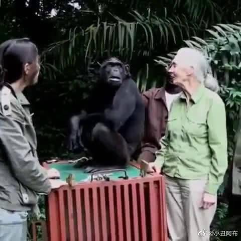 这段视频是伟大的野生动物保护家简.古道尔放归一只名叫希拉的黑猩猩