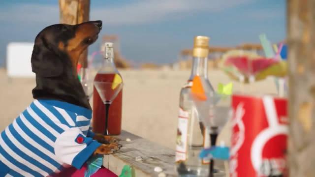 腊肠犬晒着太阳喝着鸡尾酒别提多潇洒