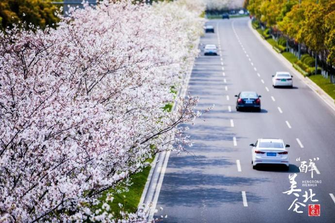 美丽北仑千米樱花大道 春日里樱花惊艳盛放