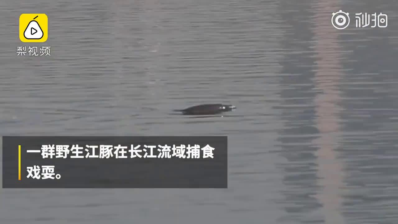 长江宜昌段再现成群江豚 此段禁渔已超两年