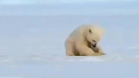 当正在冰面上玩耍的北极熊宝宝,突然遇到一只钻出冰面的海豹……