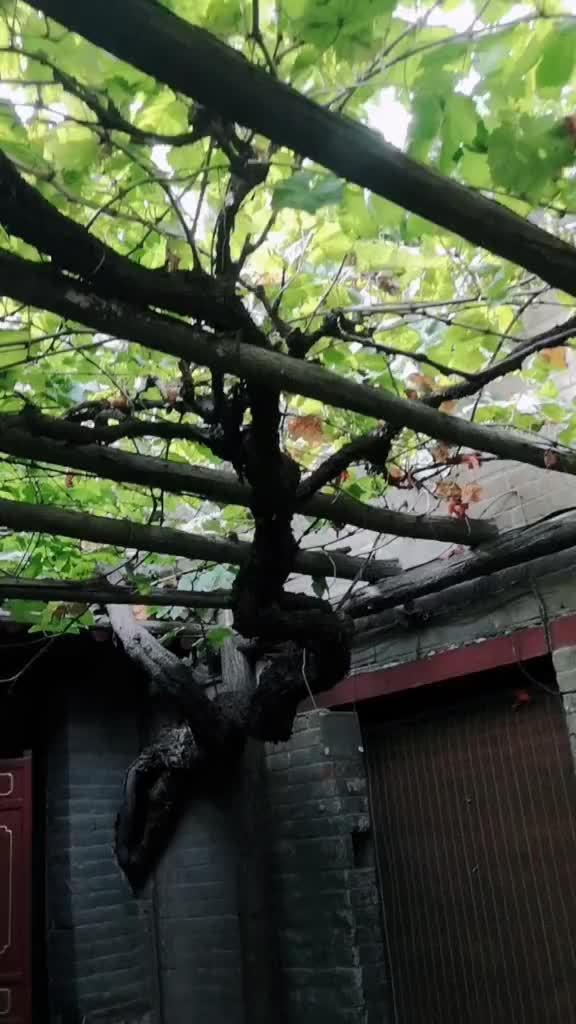 缠满三百年岁月皱纹的藏葡萄树见证着康百万庄园得兴衰