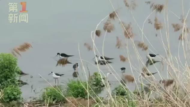 """商洛鸟中""""美少女""""黑翅长脚鹬遨游商洛丹江源湿地"""