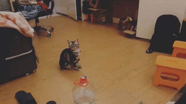 「团子在成都新家」小猫咪对激光Disco无比喜欢甚至有点忙不过来