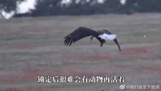 老鹰从高空俯冲,错把棕熊当野兔,飞到跟前为时已晚