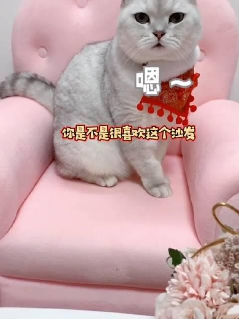 吸猫日常,给猫咪置换新的家具,这是一只听懂人话,还会说话的